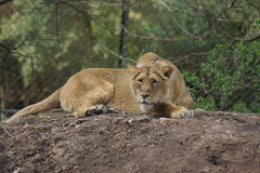 Asiatic Lion - Panthera leo persica Royalty Free Stock Photos