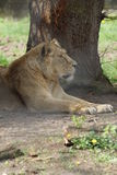 Asiatic Lion - Panthera leo persica Royalty Free Stock Photography