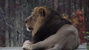 Asiatic lion Panthera leo persica. stock video footage