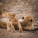 Asiatic lion in wild Stock Images