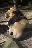 Asiatic lion, Panthera leo persica, lives in a small reserve in India Stock Image
