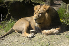 Asiatic lion, Panthera leo persica, lives in a small reserve in India Stock Images