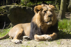 Asiatic lion, Panthera leo persica, lives in a small reserve in India Royalty Free Stock Image