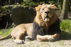 Asiatic lion, Panthera leo persica, lives in a small reserve in India Stock Photos