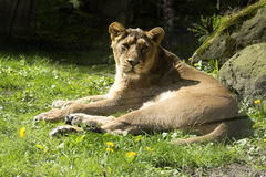 Asiatic lion, Panthera leo persica, lives in a small reserve in India Royalty Free Stock Photos