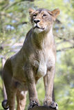 Asiatic lion, Panthera leo persica, lives in a small reserve in India Stock Photography