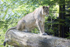 Asiatic lion, Panthera leo persica, lives in a small reserve in India Stock Photo