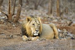 Asiatic Lion or Panthera leo persica, resting in the forest at Gir National Park Gujarat, India. Asiatic Lion, Panthera leo persica, resting in the forest at Gir royalty free stock photo