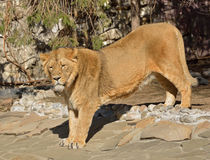 Asiatic lion Panthera leo persica Stock Image