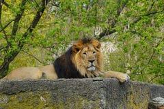 Asiatic lion (Panthera leo persica ) - threatened species Stock Photos