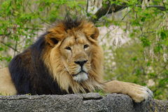 Asiatic lion (Panthera leo persica ) - threatened species Royalty Free Stock Images