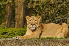 Asiatic lion (Panthera leo persica ) - threatened species Stock Image