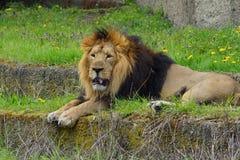 Asiatic lion (Panthera leo persica ) - threatened species Stock Photo