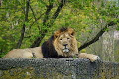 Asiatic lion (Panthera leo persica ) - threatened species Stock Images