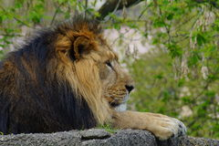 Asiatic lion (Panthera leo persica ) - threatened species Royalty Free Stock Photo