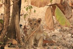 Asiatic cub waiting to pounce. The Asiatic lion Panthera leo leo is a lion population in Gujarat, India, which is listed as Endangered on the IUCN Red List Royalty Free Stock Image