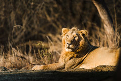 Asiatic Lion resting Royalty Free Stock Photography