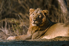 Asiatic Lion resting. And staring at Gir Forest Royalty Free Stock Photo