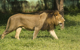 Asiatic Lion Walking. Asiatic Lion(Panthera leo persica) Male Walking in the Enclosure . Once  found in most of its range but now it is only found in wild at Gir Royalty Free Stock Image