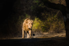 Asiatic Lion walking Royalty Free Stock Images