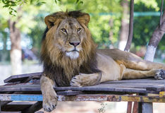 Asiatic Lion Royalty Free Stock Photos