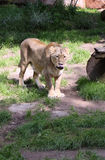 Asiatic Lioness Royalty Free Stock Photos