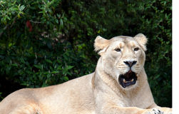 Asiatic Lioness Royalty Free Stock Image