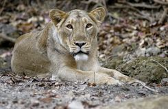 asiatic lioness Royaltyfria Foton