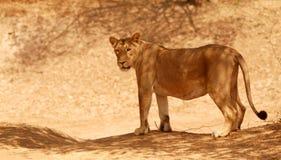 asiatic lioness Royaltyfri Bild