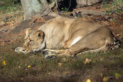 Asiatic lioness Panthera leo persica. royalty free stock photography