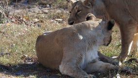 Asiatic lioness Panthera leo persica.