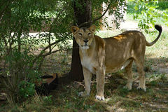 Asiatic lioness - Panthera leo persica Stock Photo