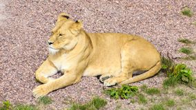 Asiatic lioness resting in the sun stock image