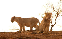 Asiatic Lions. Lion cubs shot in sasan gor national park of India Royalty Free Stock Photos