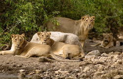 Asiatic lions. This lion family is shot in Sasan-gir national park in Gujrat state of India Royalty Free Stock Photography