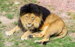 Asiatic male lion resting in the sun stock images