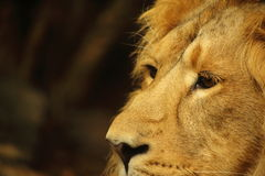 Asiatic male lion close up Royalty Free Stock Photos
