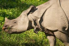 asiatic noshörning royaltyfri bild