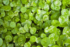 Asiatic Pennywort Stock Photos