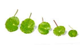 Asiatic Pennywort Royalty Free Stock Photography