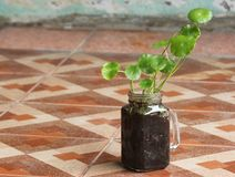 Asiatic Pennywort. In glass jar Royalty Free Stock Photos