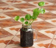 Asiatic Pennywort. In glass jar Royalty Free Stock Image