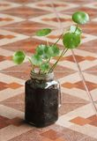 Asiatic Pennywort. In glass jar Royalty Free Stock Images