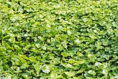 Asiatic Pennywort, Gotu kola Royalty Free Stock Images