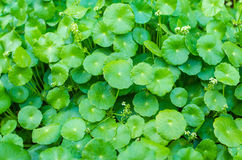 Asiatic Pennywort green plant Royalty Free Stock Photos