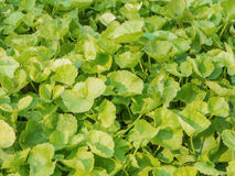 Asiatic Pennywort or Indian pennyrort  herb Stock Images
