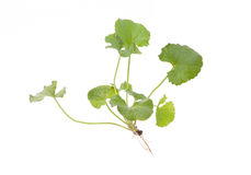 Asiatic Pennywort. Isolated Asiatic Pennywort herb on white background Royalty Free Stock Photo