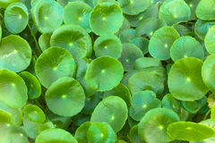 Asiatic Pennywort  is a plant that indicated in the treatment of Royalty Free Stock Photos
