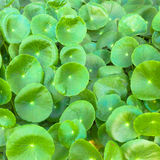 Asiatic Pennywort  is a plant that indicated in the treatment of Stock Photo