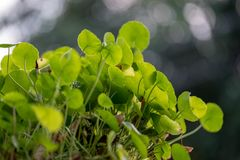 Asiatic pennywort in closeup. Asiatic pennywort in the pot. In Closeup Stock Photography